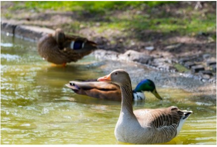 Useful Tips To Protect People And Property From Geese